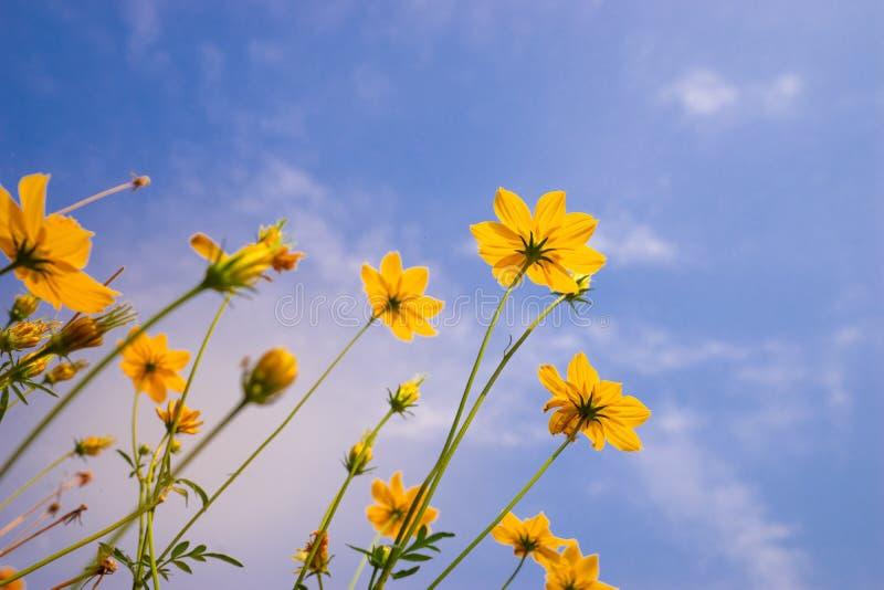 myrasiktsStarburst blomma mot blå himmel arkivbilder