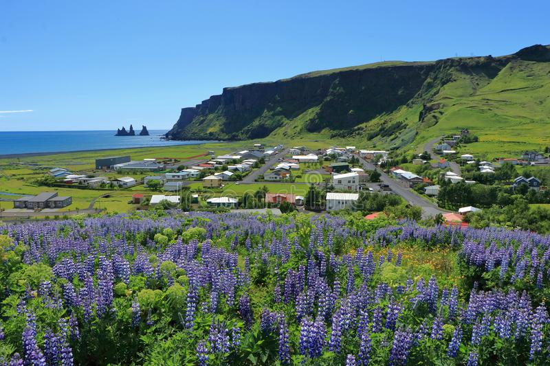 Lupins Blooming above Vík í Mýrdal, Southern Iceland. From Myrdalskirkja the view opens to the town of Vik i Myrdal and the Reynisfjall with stock image