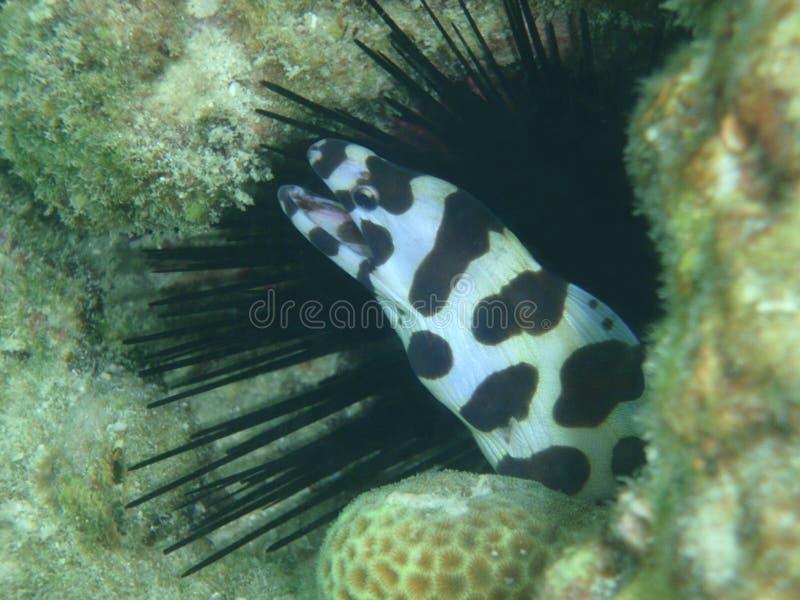 Myrichthys de Maculosus, enguia do oceano foto de stock