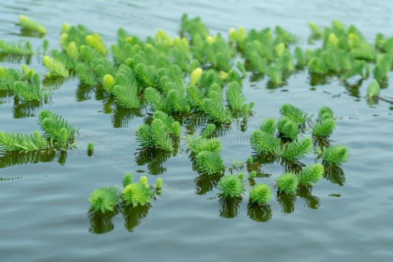 Myriophyllumaquaticum Vell Verdc het groeien in landelijke vijvers in China royalty-vrije stock foto's