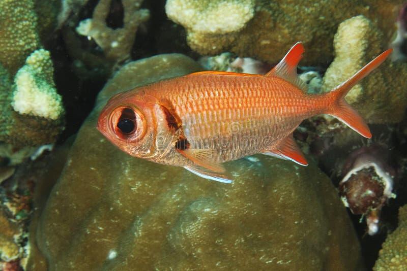 Myripristis murdjan - peixes do soldado fotografia de stock royalty free