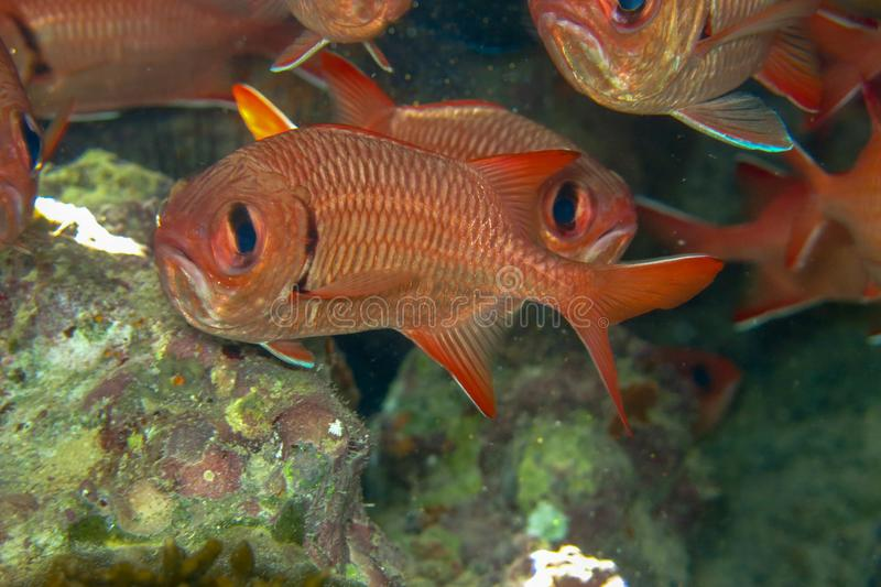 Myripristis murdjan is a species of soldierfish. A flock of orange-red fish with big eyes hides under the overhanging coral reef. royalty free stock photography