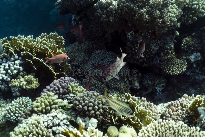 Myripristis murdjan underwater in the ocean of egypt, underwater in the ocean of egypt, Myripristis murdjan underwater photograph stock image