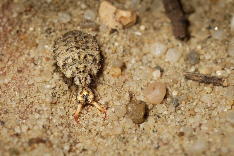 Myrmeleonidae - Antlion-insect in de familie Myrmeleontidae, die voor de hevig roofzuchtige gewoonten van hun larven wordt gekend stock fotografie