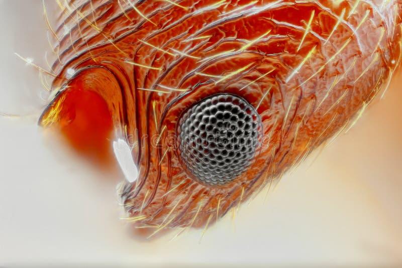Myrmica蚂蚁眼睛的极端锋利和详细的研究   免版税库存图片