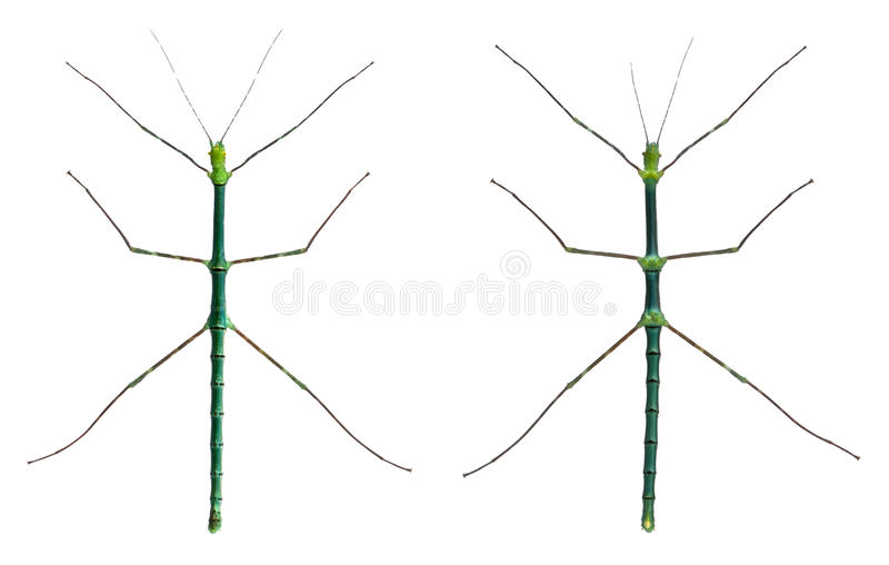Download Myronides Sp, Stick Insects Stock Photo - Image of space, horizontal: 18257686