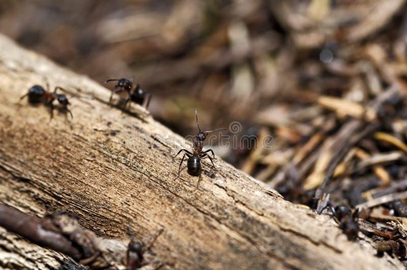 Myror arkivfoton