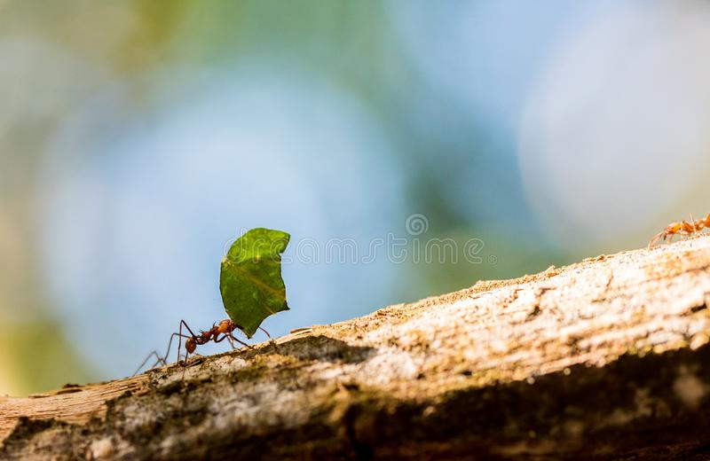 Myror bär på sidor royaltyfri fotografi