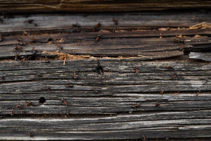 Myror bygga bo i trä - brandmyror som kryper på det trägamla huset royaltyfri foto