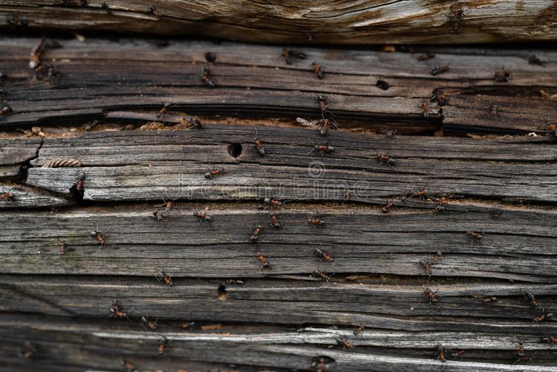 Myror bygga bo i trä - brandmyror som kryper på det trägamla huset fotografering för bildbyråer