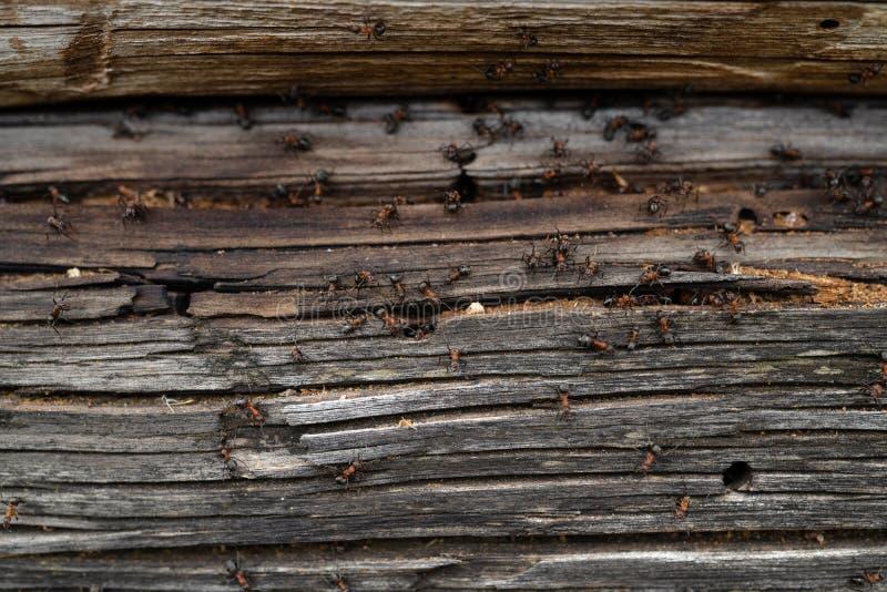 Myror bygga bo i trä - brandmyror som kryper på det trägamla huset royaltyfria foton