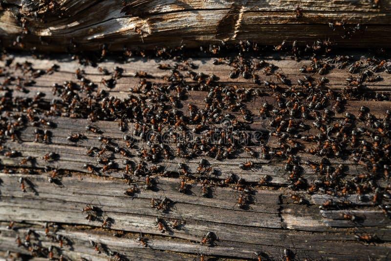 Myror bygga bo i trä - brandmyror som kryper på det trägamla huset arkivbild