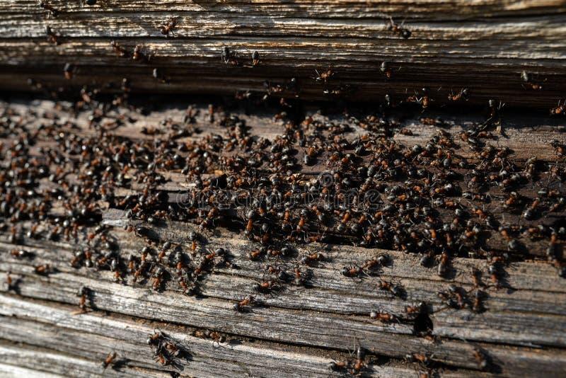 Myror bygga bo i trä - brandmyror som kryper på det trägamla huset arkivfoton