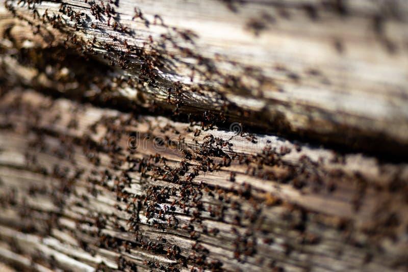 Myror bygga bo i trä - brandmyror som kryper på det trägamla huset arkivbilder