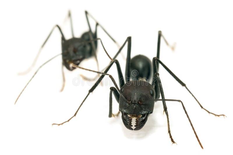 myror isolerade white arkivfoto