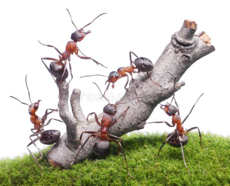 Myror kommer med ner det gamla trädet, teamwork som isoleras royaltyfria foton