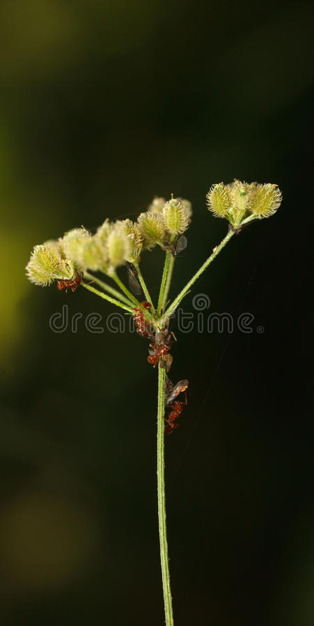 Myror och matande bladlus royaltyfri bild