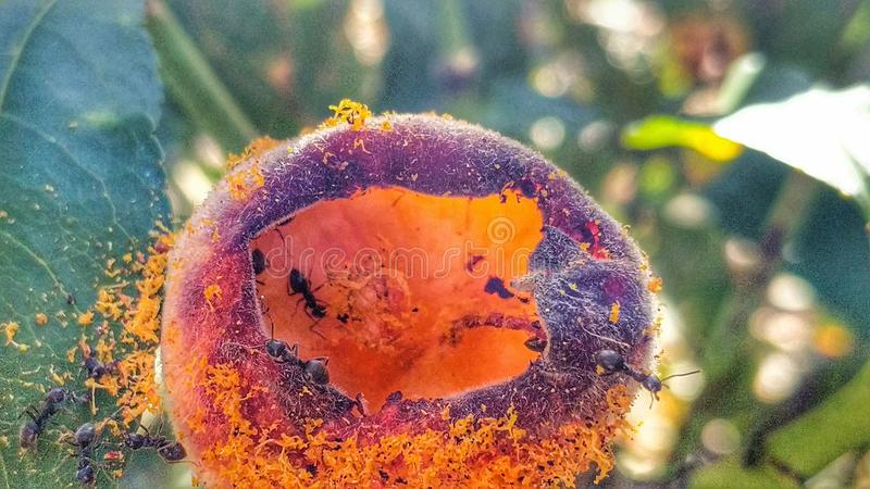 Myror och persika 2 royaltyfri foto