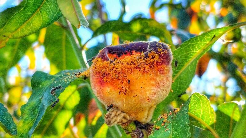 Myror och persika 6 arkivbilder