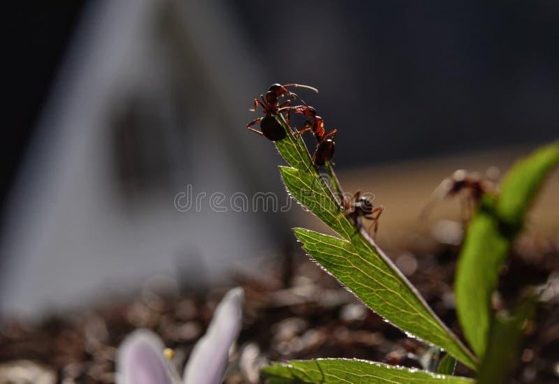 Myror på arbete fotografering för bildbyråer