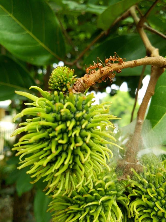 Myror på ett rambutanträd arkivbild
