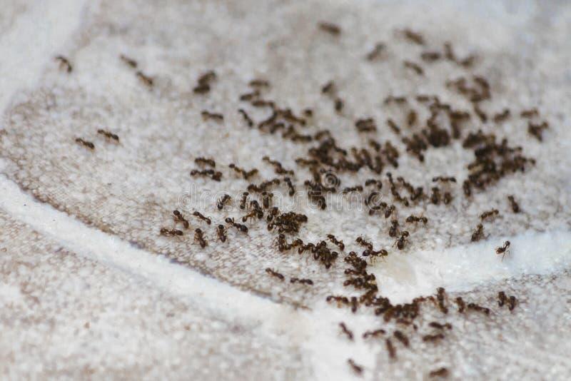 Myror på golvet inom hus Skalbaggar äter på golvet i lägenheten royaltyfri fotografi