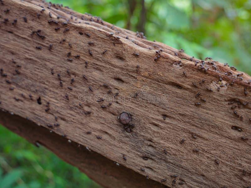 Myror på träledstänger i vägen till överkanten av det Khao Luang berget i den Ramkhamhaeng nationalparken arkivbilder