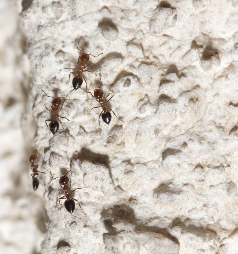 Myror på väggen Makro arkivfoto