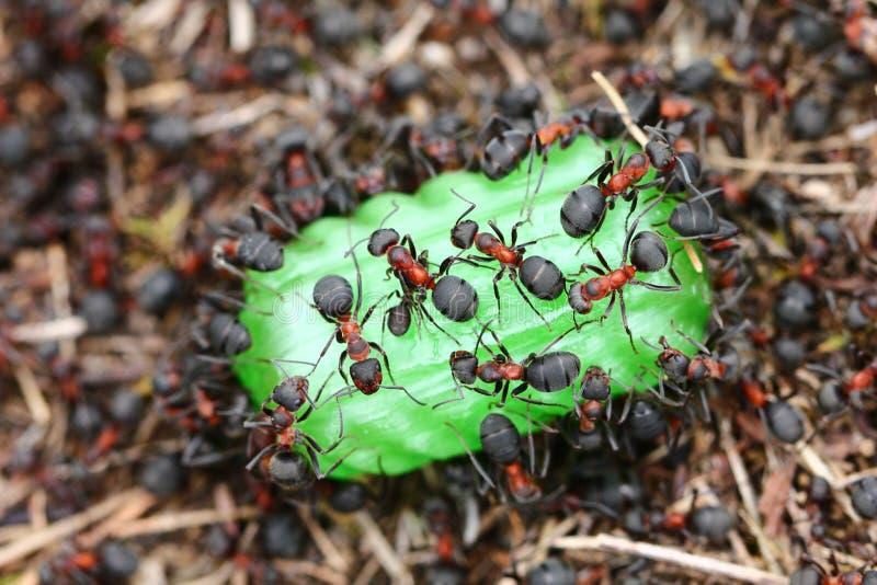 Myror som äter godisen royaltyfria foton