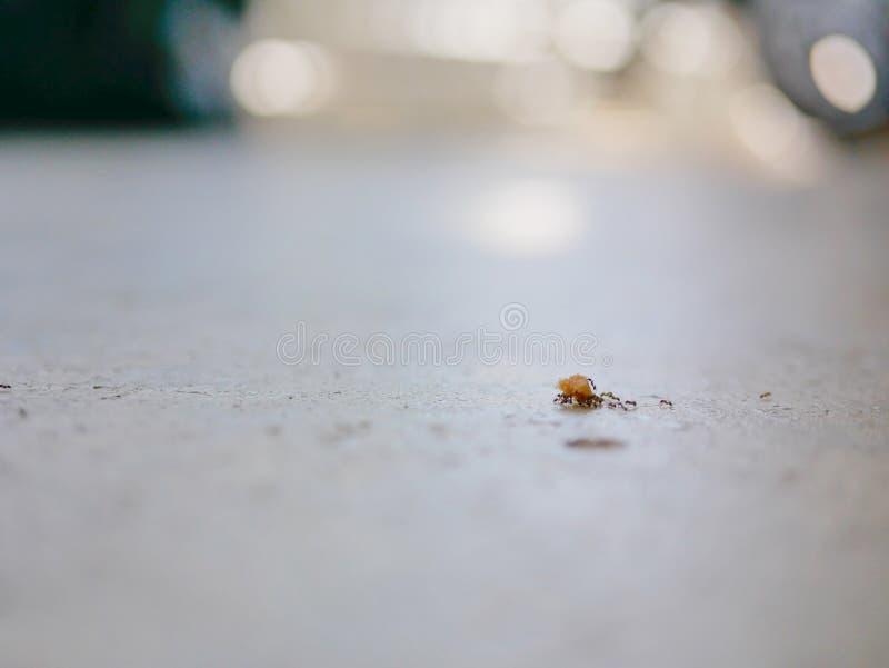 Myror som arbetar som smulor för ett bröd för lag bärande på ett konkret golv royaltyfri bild