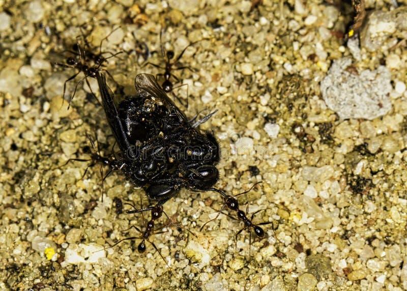 Myror som bär Trigona för biArapuà ¡ spinipes arkivbilder