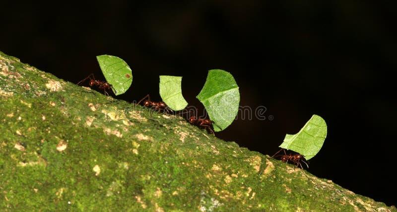 myror som klipper leafen royaltyfri fotografi