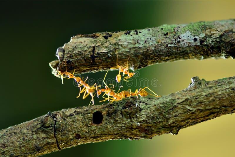 Myror som konstruerar bron, teamwork arkivfoto
