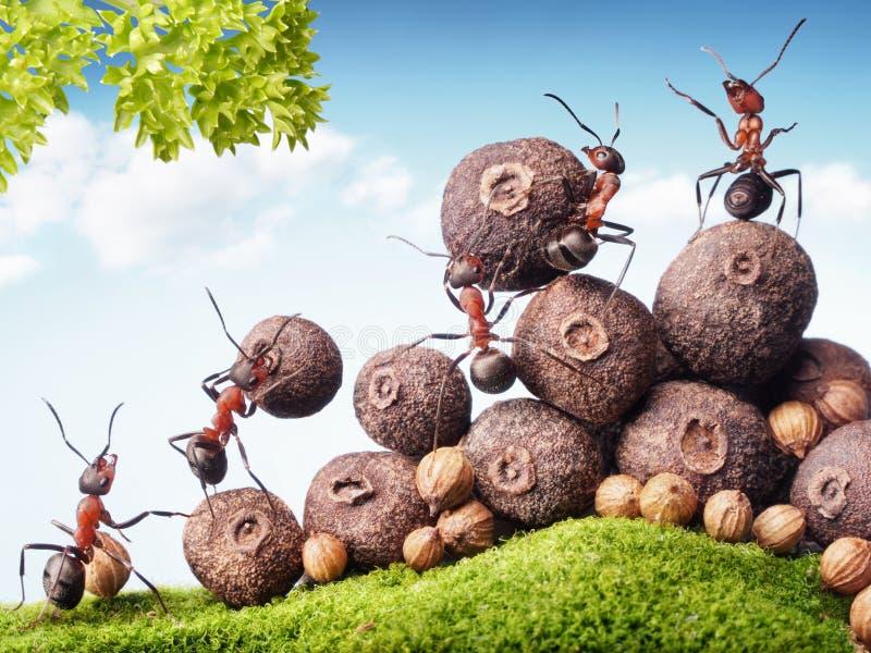 Myror som samlar frö i materielet, teamwork royaltyfria bilder