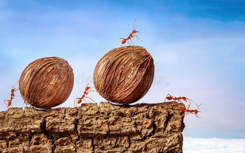 Myror som tillsammans bär mat fotografering för bildbyråer