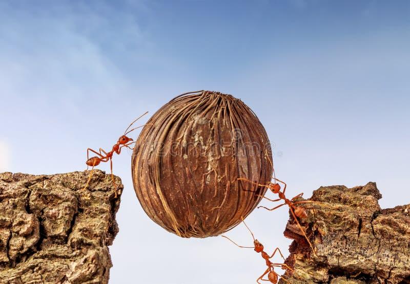 Myror som tillsammans bär mat arkivbilder