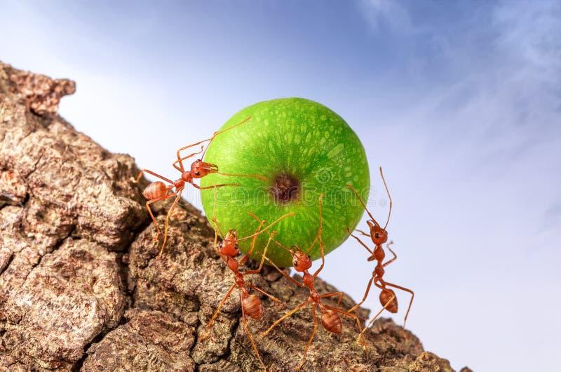 Myror som tillsammans bär mat arkivfoto