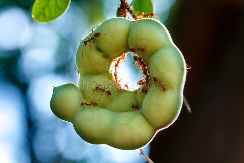 Myrorna på den Manila tamarindfrukten, myror, Manila tamarindfrukt fotografering för bildbyråer