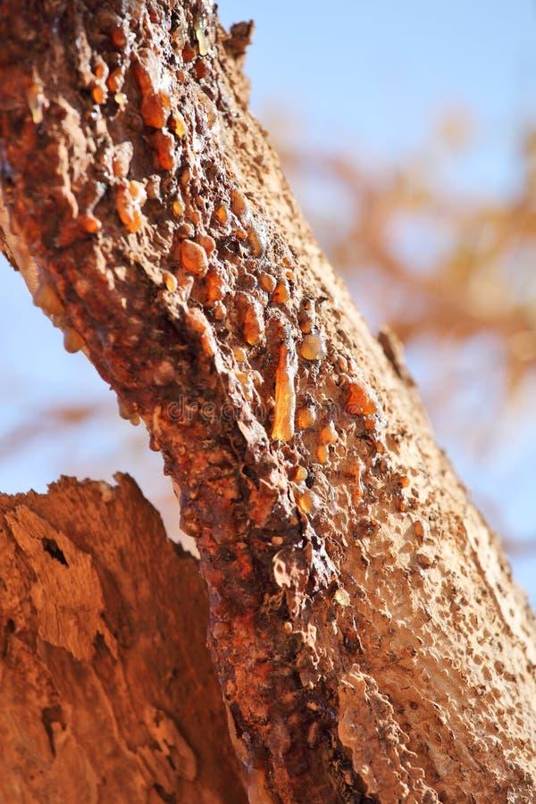 Myrrh ρητίνη δέντρων στοκ φωτογραφίες με δικαίωμα ελεύθερης χρήσης