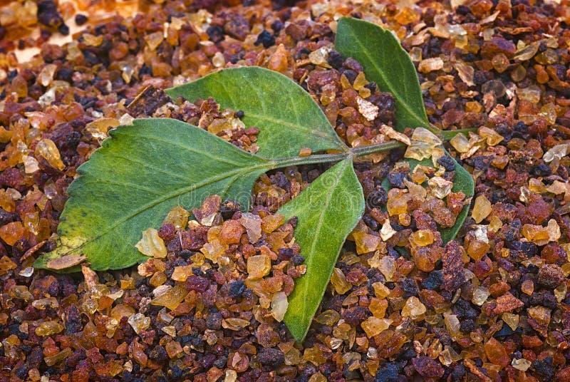 Myrrh Commiphora myrrha royaltyfria bilder