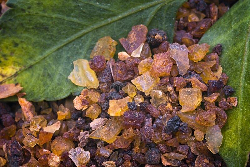 Myrrh Commiphora myrrha arkivfoton