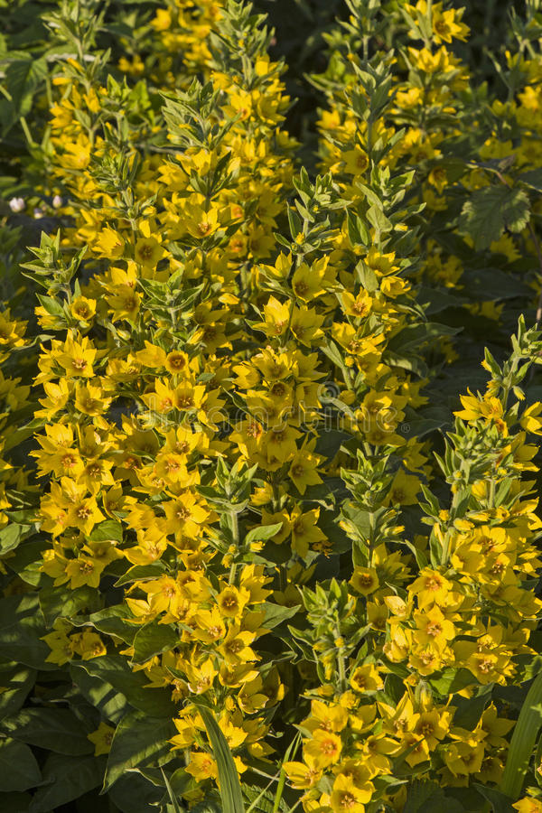 Myrsinoideae Stock Photo Image Of Fauna Loosestrife