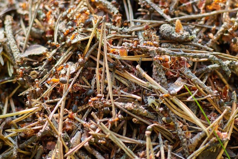 Myrstack i skogslutet upp starka skogkryp ansel stor grupp av myror royaltyfri bild