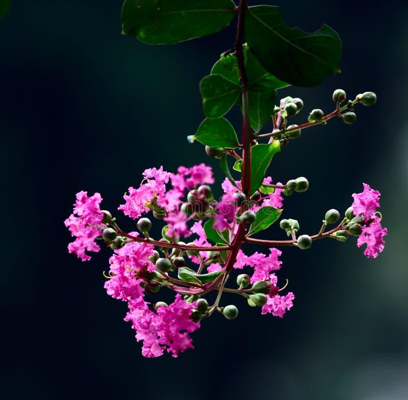 Myrte de crepe rose photo libre de droits
