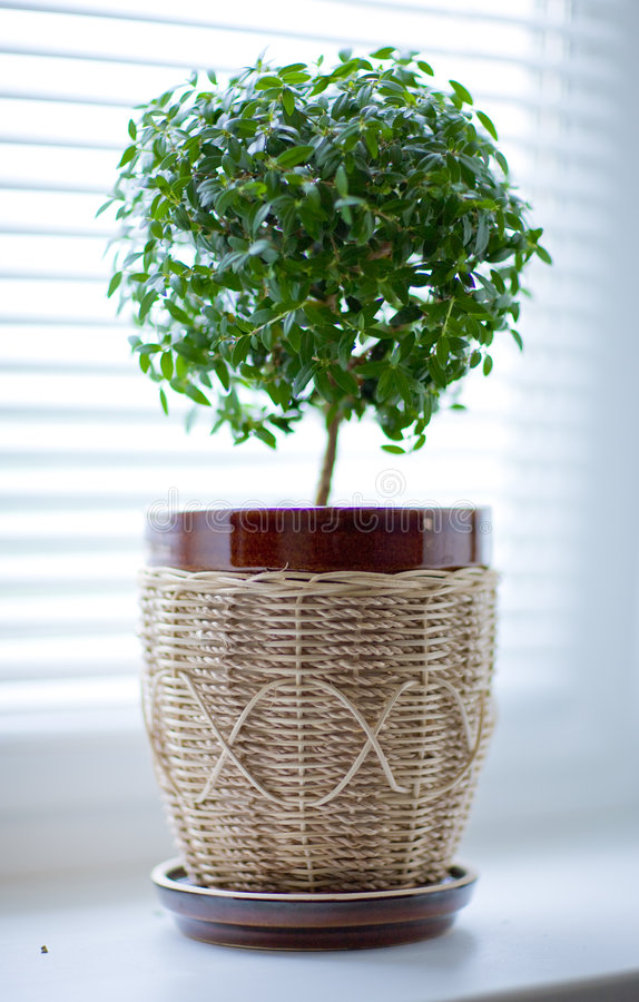 myrtentree royaltyfri fotografi