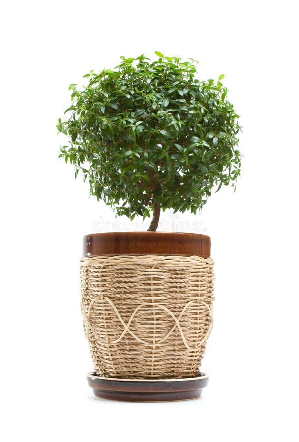 myrtentree arkivbild