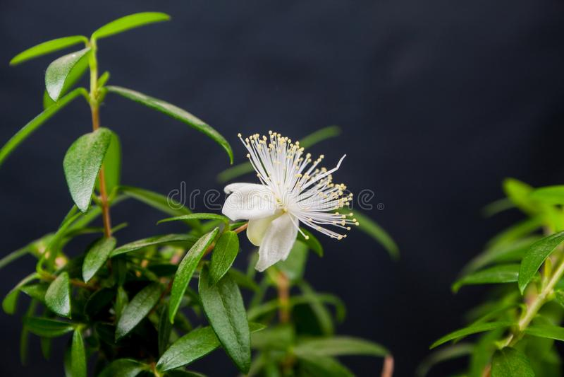 Myrtes fleurissants photos stock