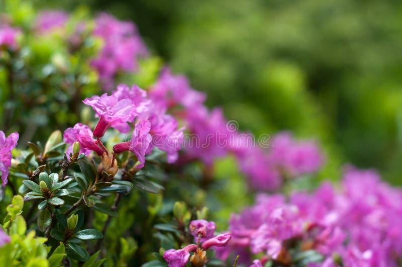 Myrtifolium de floraison de rhododendron photographie stock