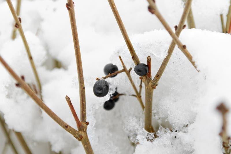 Myrtilles dans la neige photos libres de droits