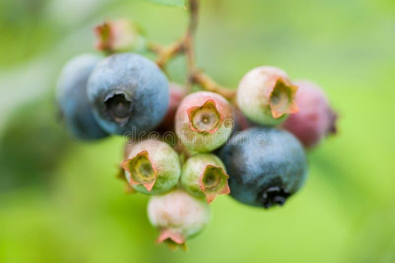 Myrtilles vertes et bleues fraîches en nature photographie stock